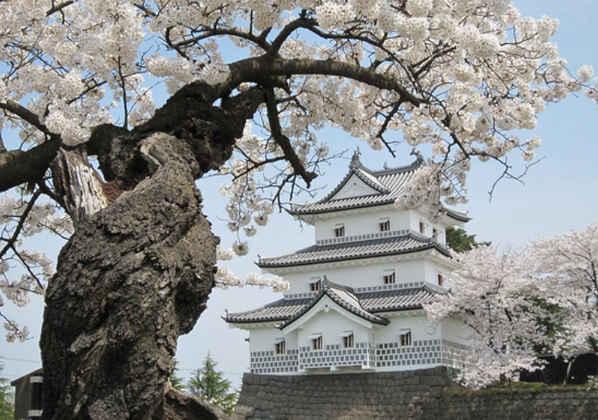 美しい桜の名城、新発田城